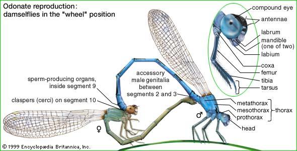 The Odonata