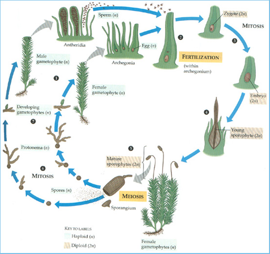 bryophyte and pteropyte life cycles Main difference – bryophytes vs pteridophytes bryophytes and pteridophytes are plants that are classified under kingdom of plantae 'bryophytes' is a collective name used for three plant divisions: marchantiophyta (liverworts), bryophyta (mosses) and anthocerotophyta (hornworts.