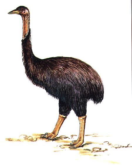 New research indicates Kiwi's closest relative is Madagascar's extinct elephant bird Aepyorn